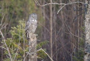 Road to Duluth Great Grey Owl-7
