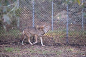 Sewee Center Red Wolves-2